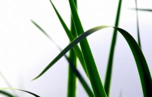 brin d'herbe 1